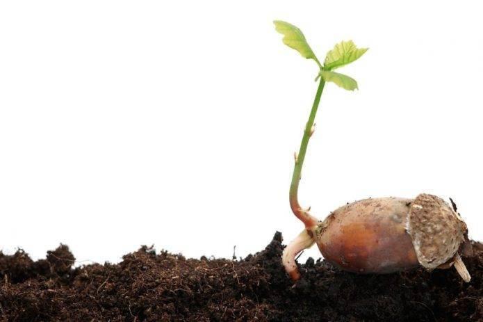 Как вырастить дуб из жёлудя в домашних условиях