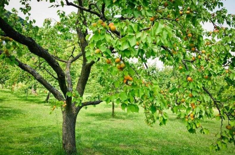 Описание сорта абрикоса «Персиковый»: правила посадки и ухода