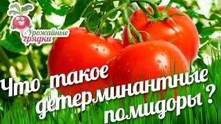 Детерминантный сорт помидоров: что это такое, отличие от индетерминантных томатов, выращивание в открытом грунте