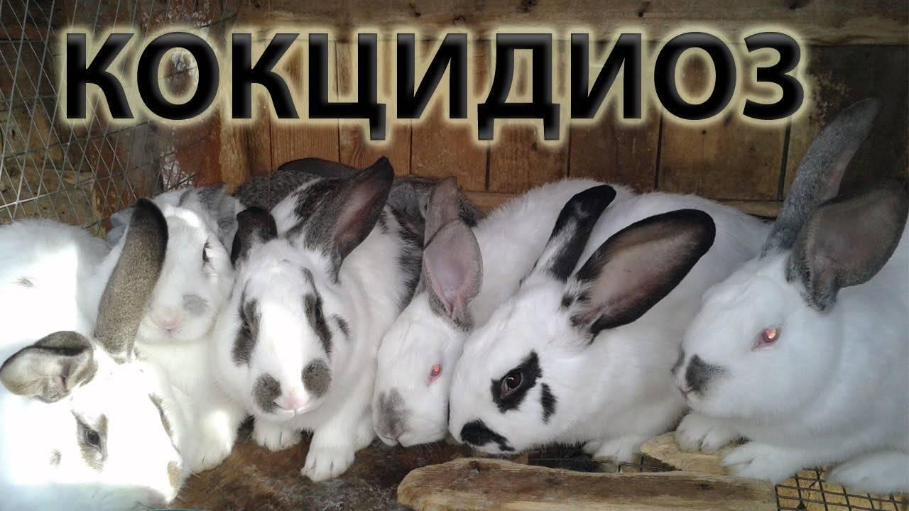 Кокцидиоз у кроликов: причины, симптомы и лечение болезни