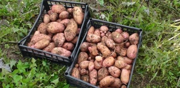 Сорт картофеля родриго: общая характеристика, описание данной разновидности и фото, пошаговая инструкция по выращиванию, болезни и вредители, хранение урожая