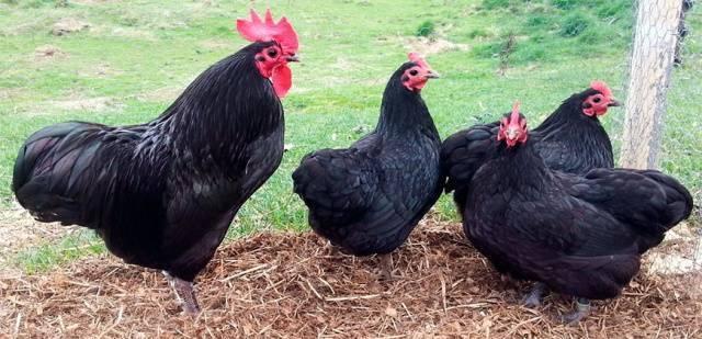 Московская черная порода кур: описание породы, фото