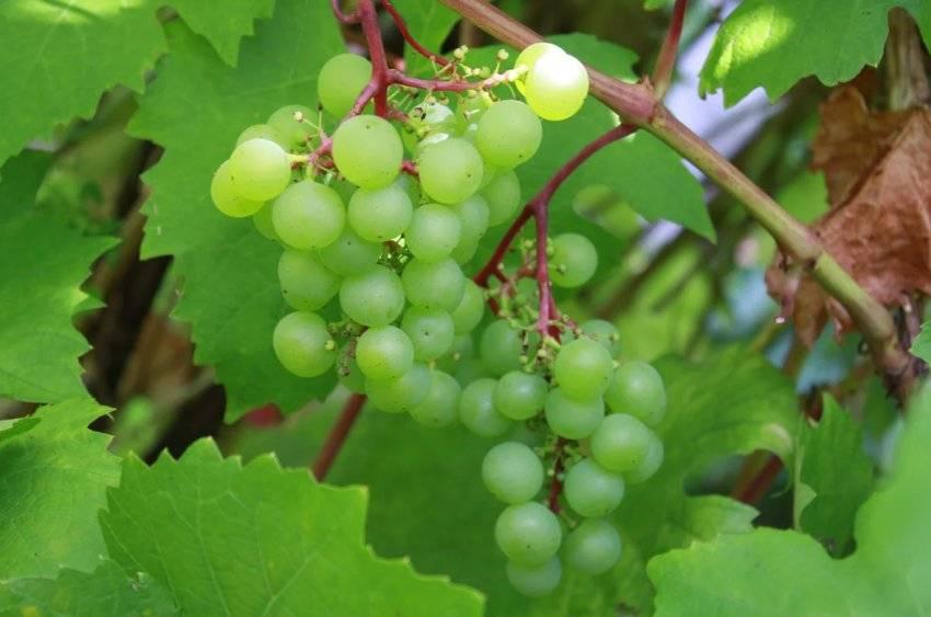 Виноград — польза и вред для здоровья организма человека, свойства и противопоказания