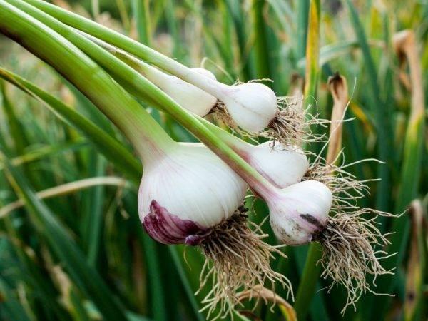 Гербициды для чеснока. защита чеснока от сорняков.