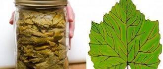 Виноградные листья: польза и вред, свойства и противопоказания