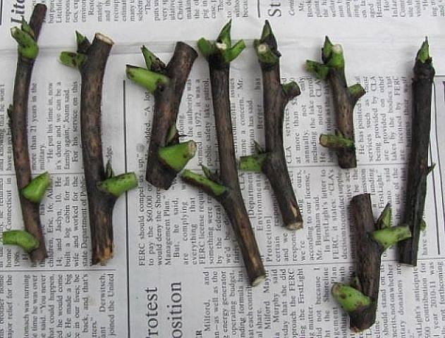 Размножение смородины черенками летом, осенью, весной, в зимнюю пору
