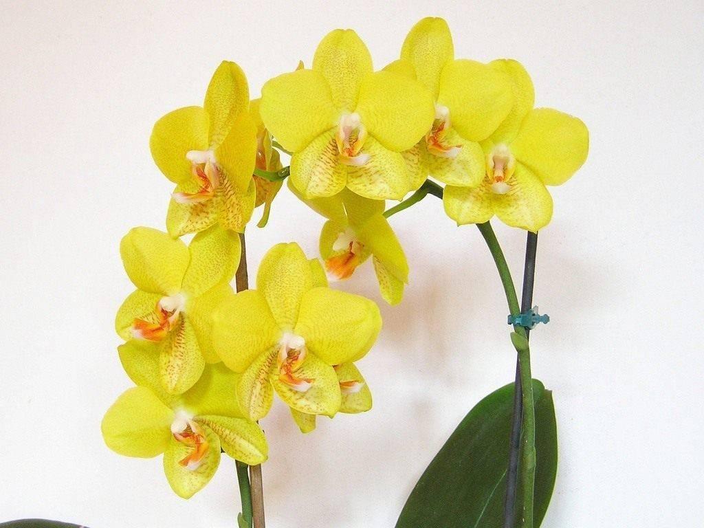 Уход за орхидеей (фаленопсис) в домашних условиях после покупки. 7 важнейших правил, размножение, фото сортов