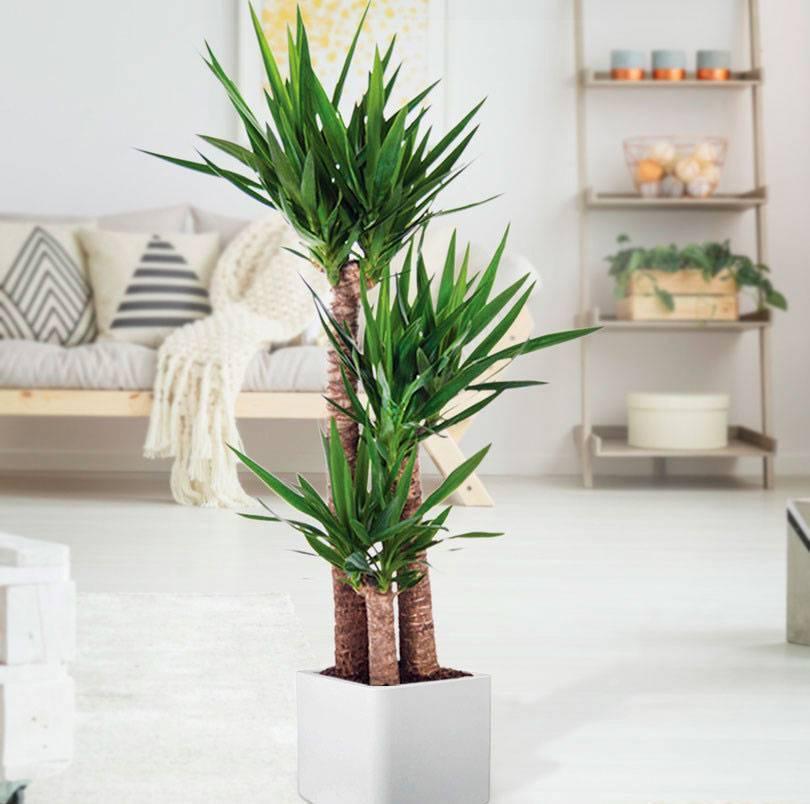 Виды растения юкка и методика ухода в домашних условиях