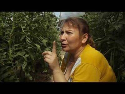 Исправить жирование томатов: полив, прищипывание, удобрения