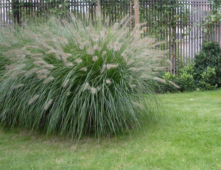 Пеннисетум: посадка и уход в открытом грунте, выращивание, фото и виды
