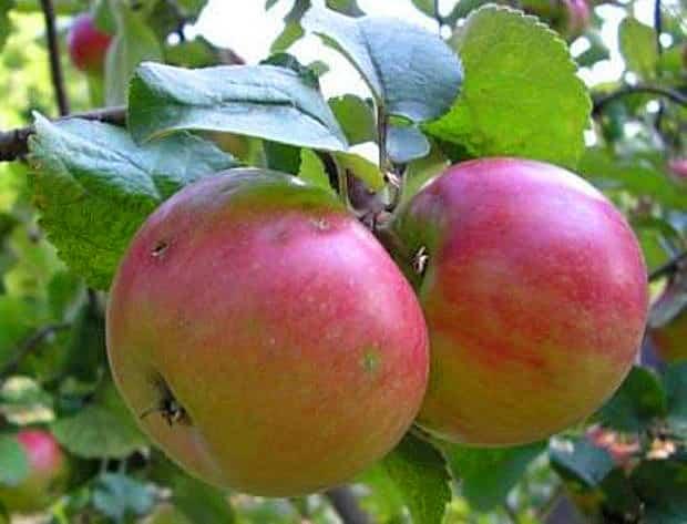 Сорт яблони июльское черненко – описание, фото