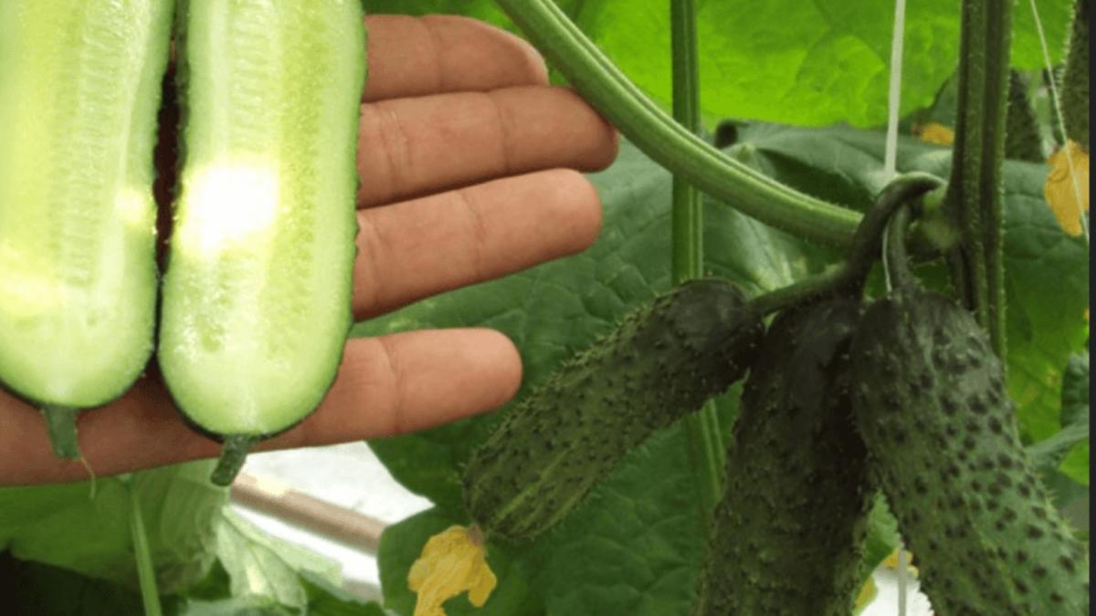 Огурец «миранда» — описание характеристик. посадка и уход, урожайность сорта и выращивание из семян (фото)