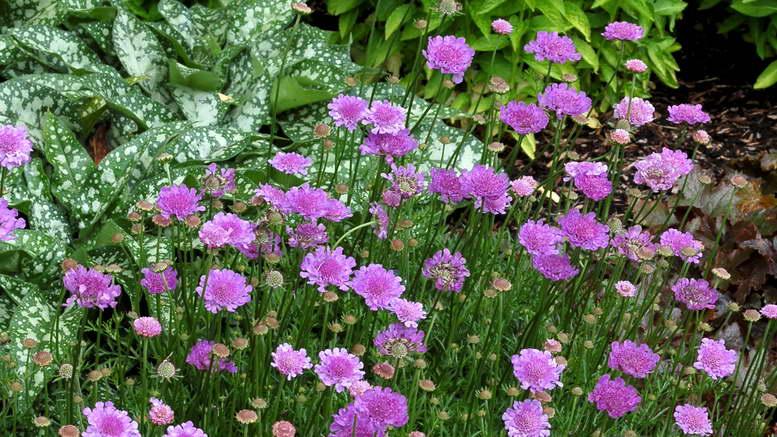 Скабиоза, посадка и уход за цветами, её природные виды