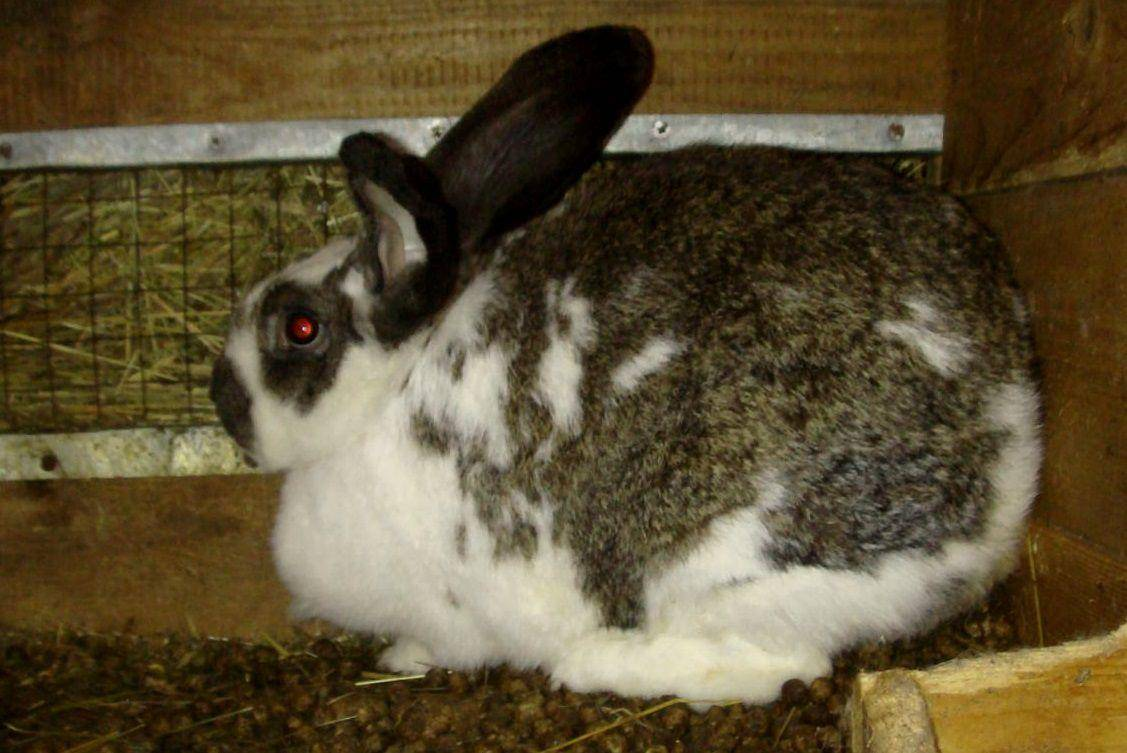 Беременность у кроликов: сколько длится, как ухаживать, поведение перед окролом