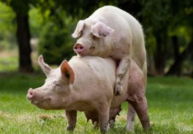 Скрещивание свиней: описание процесса — selok.info