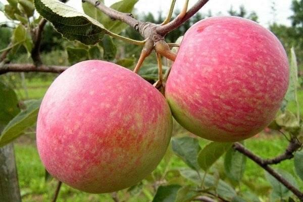 Ранние сорта яблонь: список с описанием