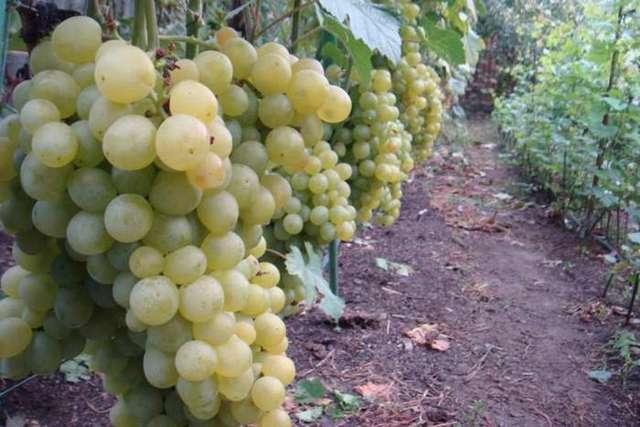 Виноград мускат розовый и ранний — описание сорта
