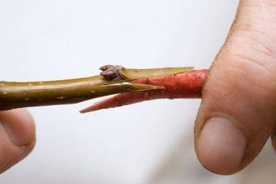 Сохнут листья и ветки на вишне: в чем причина и как устранить проблему? - секреты садоводов