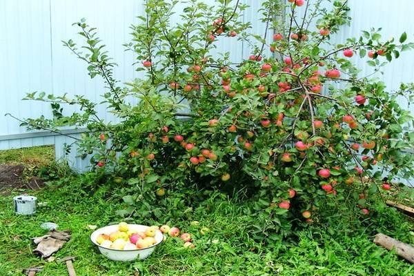 Яблоня приземленное: описание, фото