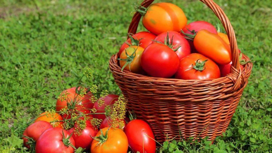 Помидор – это овощ или ягода? польза помидоров