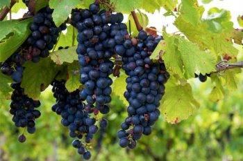 Как правильно рассчитать расстояние между кустами винограда при высадке чубуков