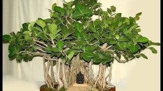 Бенгальские фикусы (29 фото): особенности ухода за баньяном в домашних условиях. где он растет в природе? правила размножения из семян