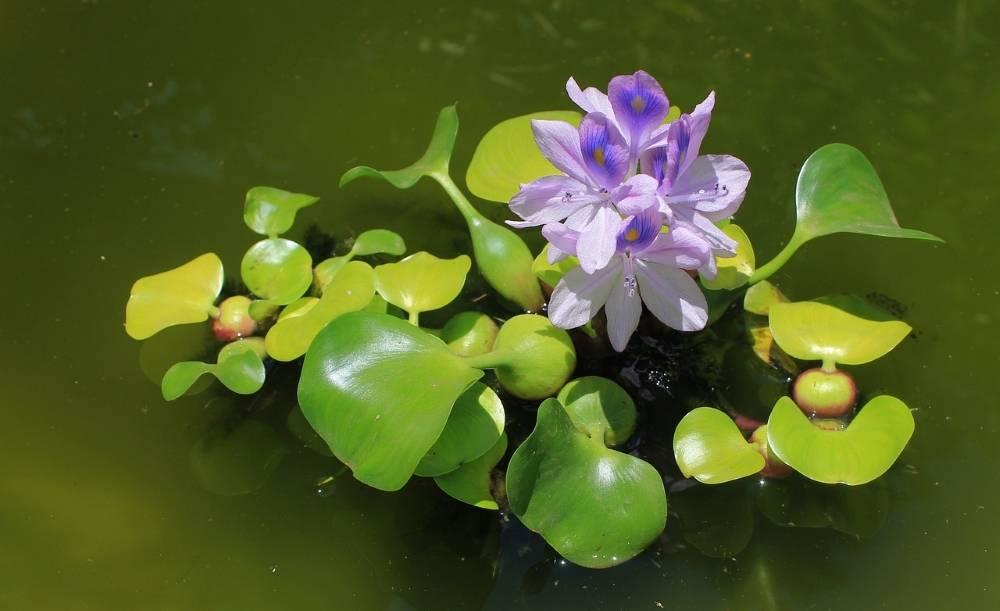 Водный гиацинт Эйхорния — посадка и уход в пруду, фото и видео