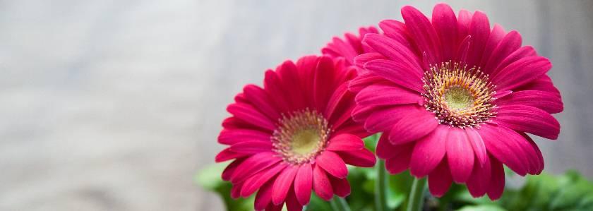 Уход за герберой в домашних условиях, виды, выращивание из семян и размножение