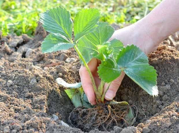 Дрожжевые подкормки для всех овощных культур