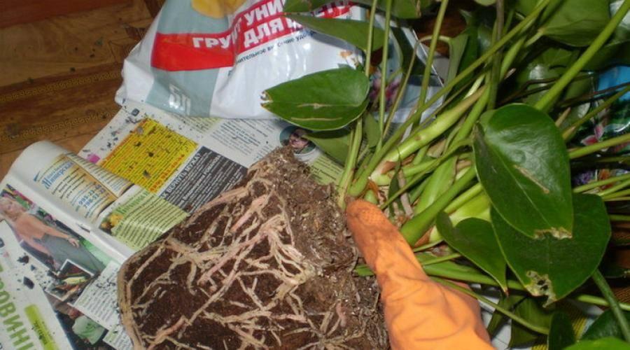 Почему не цветет антуриум в домашних условиях: как найти подход к экзотичному растению