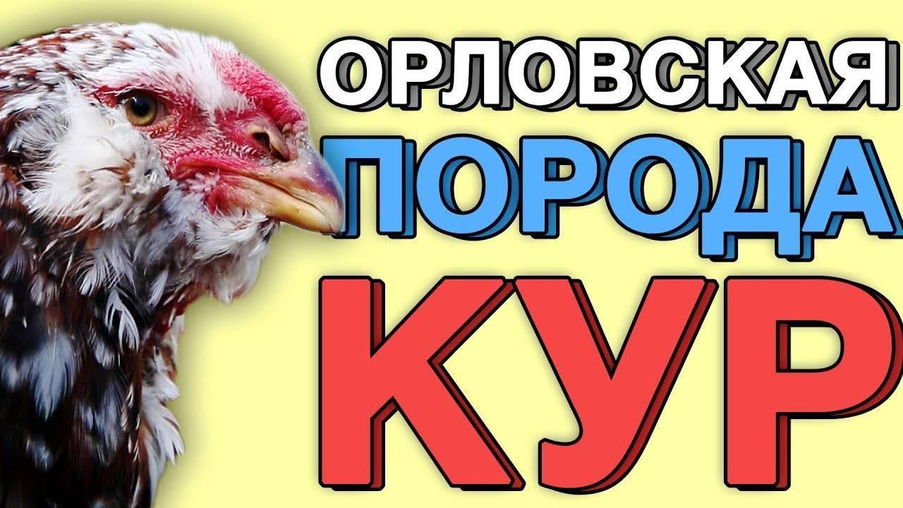 Орловские куры (30 фото): описание «ситцевой» породы, особенности выращивания цыплят, правила содержания кур, отзывы