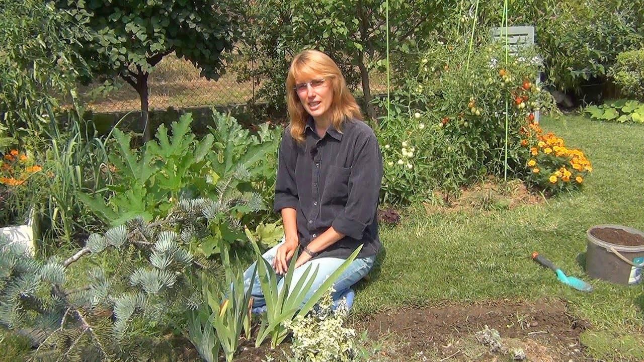 Ирисы: пересадка осенью в грунт, подготовка растения к зиме — обрезка и укрытие, посадка ирисов осенью в грунт