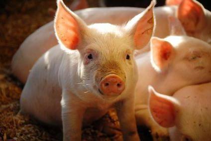 Стимуляторы роста и кормовые добавки для свиней
