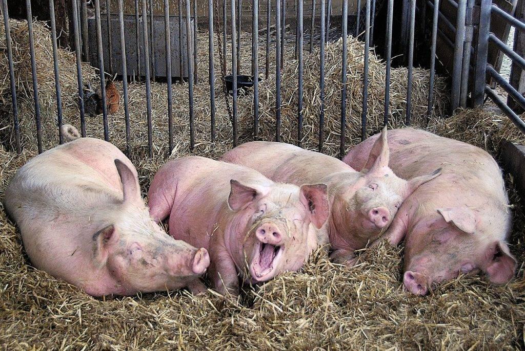 Как содержать свиноматку в домашних условиях: основы кормления и ухода за ней