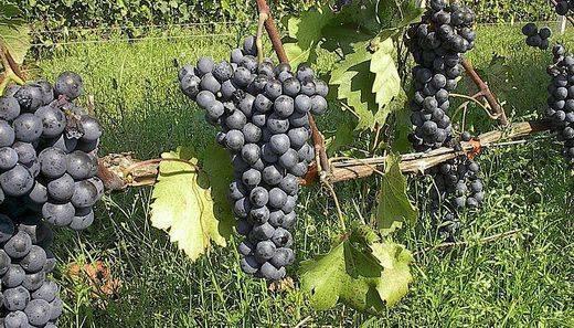 Сорт винограда ливадийский черный: описание, выращивание и уход
