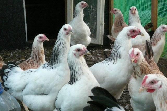 Породы кур мясо-яичного направления