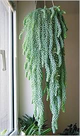 «вуду» — один из сортов седума ложного. особенности выращивания, советы, когда сажать и другие нюансы