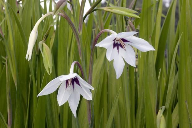 Ацидантера: уход и выращивание в открытом грунте. | растюнька