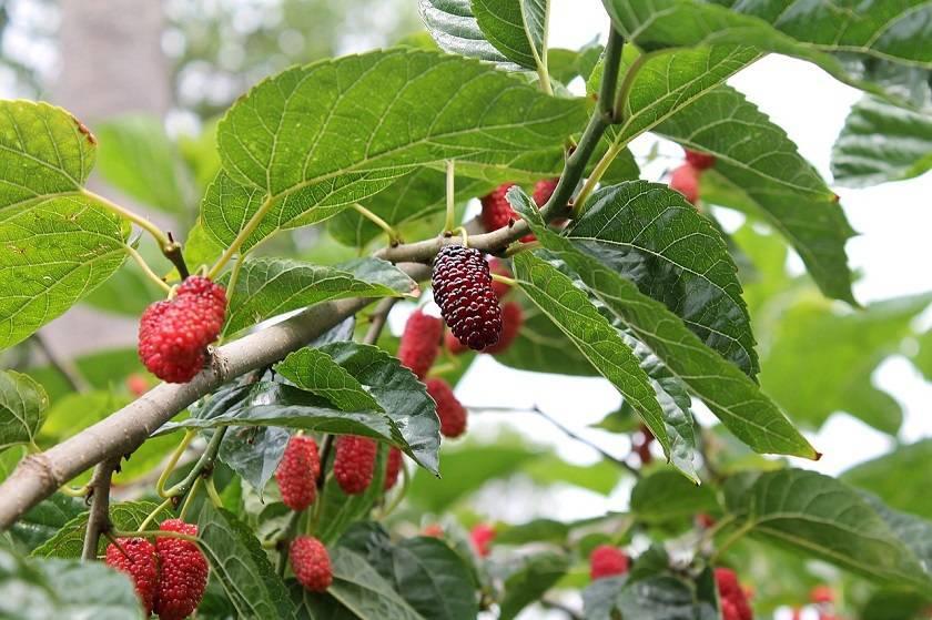 Сорта шелковицы. какой сорт выбрать для сада? | огородники