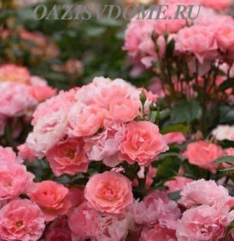 Как правильно посадить розу: выбор места и подготовка саженца