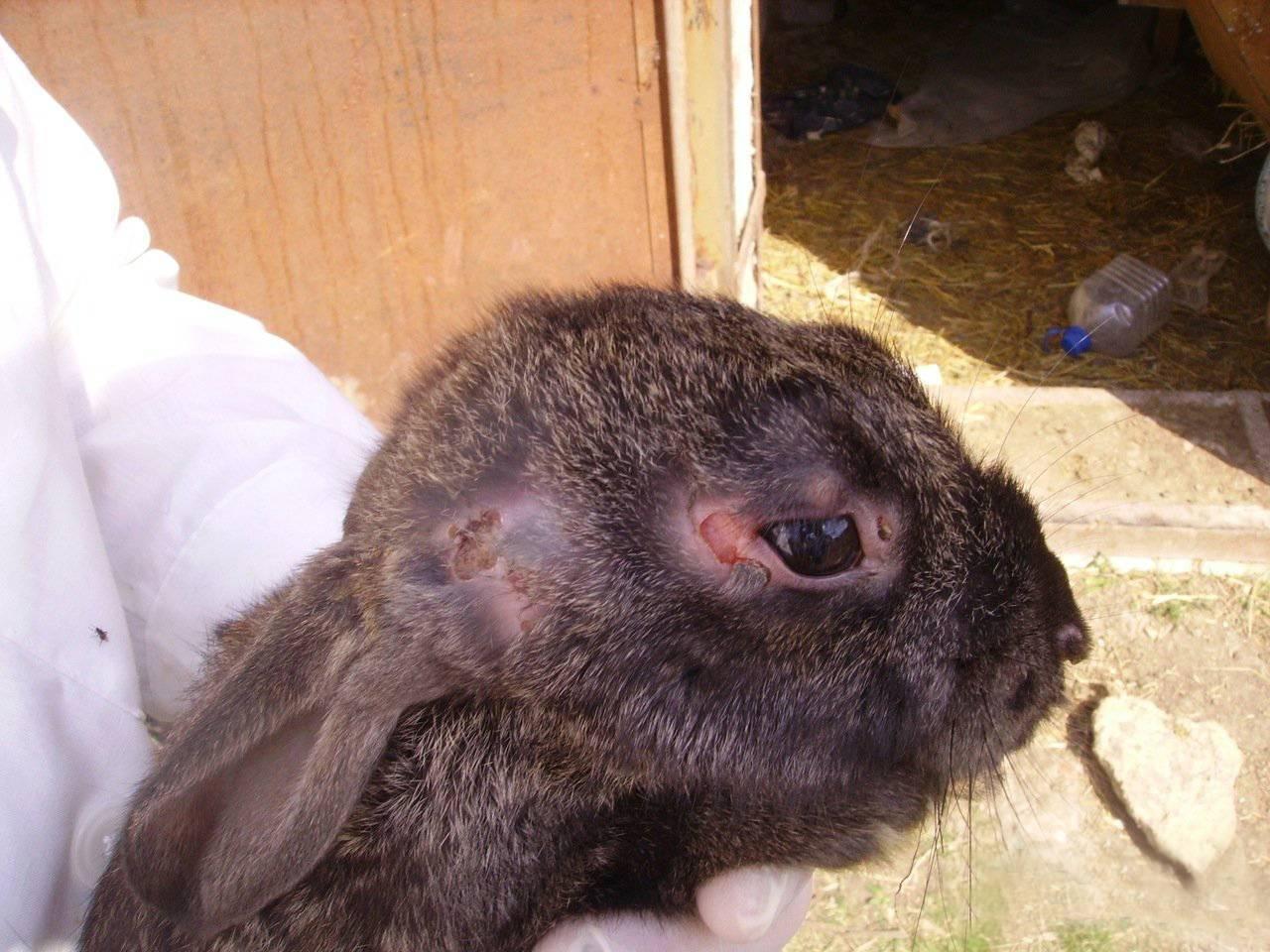 Миксоматоз у кроликов - лечение в домашних условиях болезни, можно ли есть мясо больного