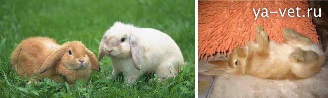 Кокцидиоз у кроликов, развитие, эффективное лечение и профилактика 2021