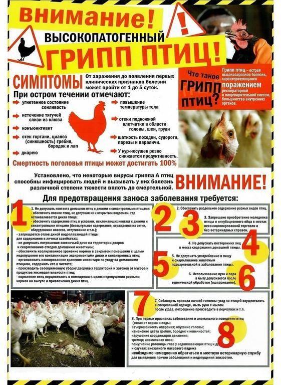Петух чихнул. погубит ли приморцев птичий грипп?