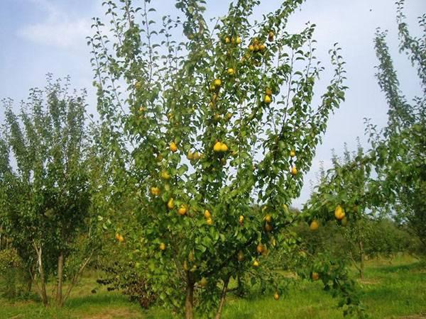 Груша чижовская: описание, выращивание и уход, отзывы, фото