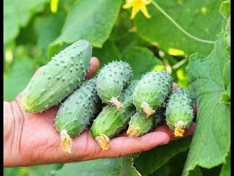 Рекомендации по выращиванию огурцов в квартире, доме или подвале: какой сорт выбрать, когда лучше сажать, как правильно ухаживать