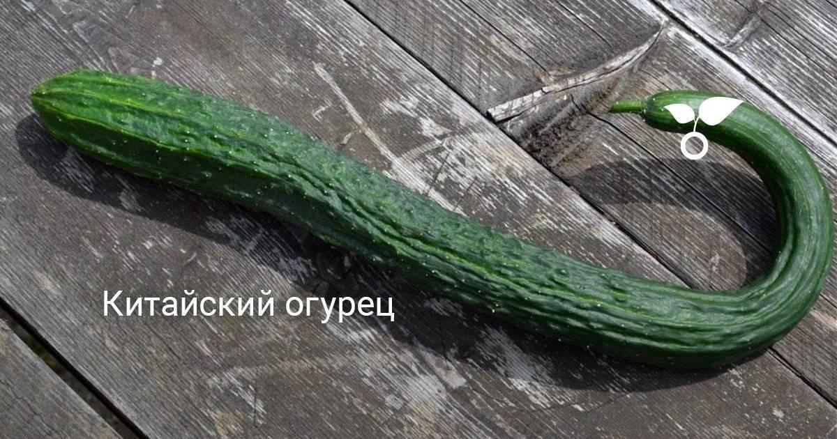 Как посадить и вырастить огурцы аллигатор