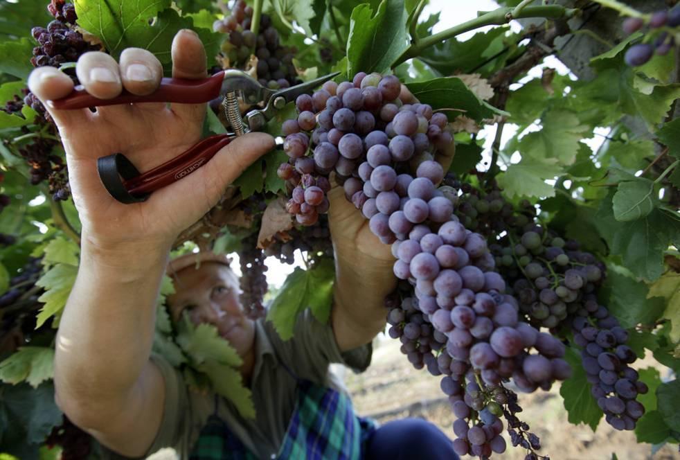 Характеристика, описание сорта винограда низина и его фото