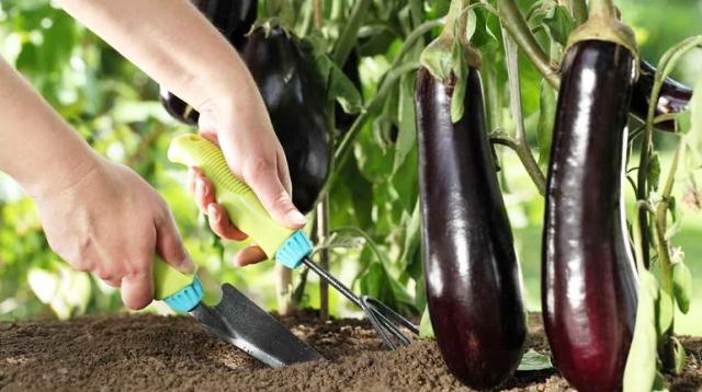 Дрожжи как удобрение для помидор, огурцов, баклажанов, овощей