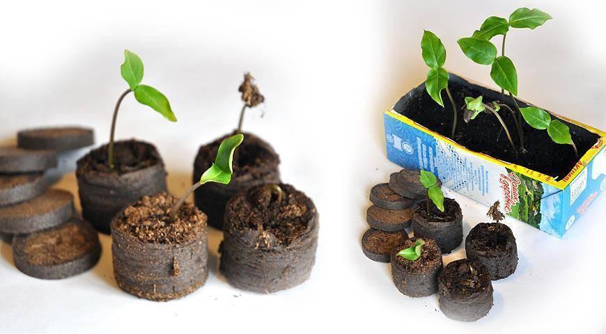 Как проращивать рассаду в домашних условиях: все способы и методы
