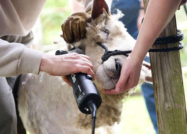 Стрижка овец: как и чем стричь, как сохранить шерсть